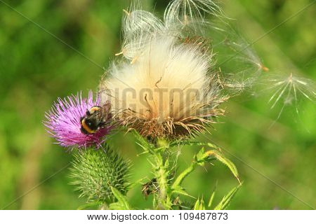 Flower Of Carduus With Bumblebee