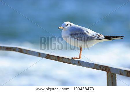 Gull On The Rail