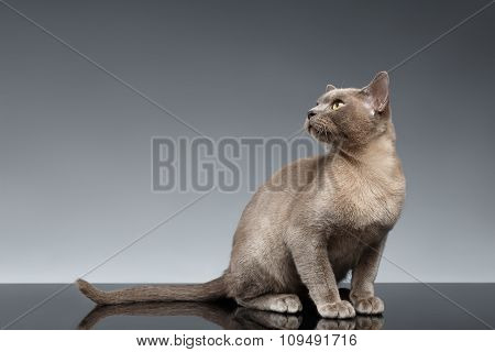 Burma Cat Sits And Looking Up On Gray