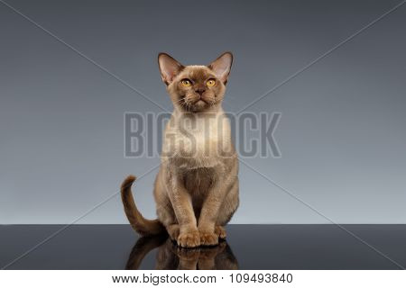 Burma Cat Sits And Looking In Camera On Gray