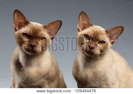 Closeup Portrait Of Two Burma Cats On Gray