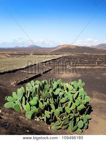 Big cactus in Lanzarote