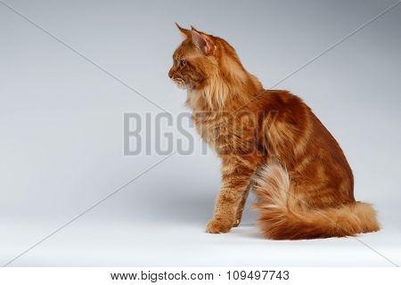 Maine Coon Cat Sits  In Profile View On White