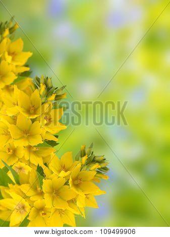 Yellow Loosestrife
