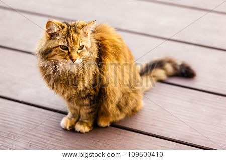 Beautiful Norwegian Cat