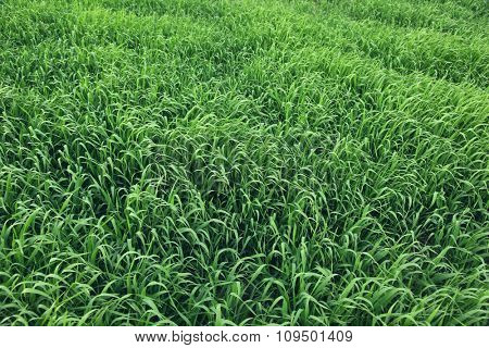 Close-up image of beautiful green grass texture