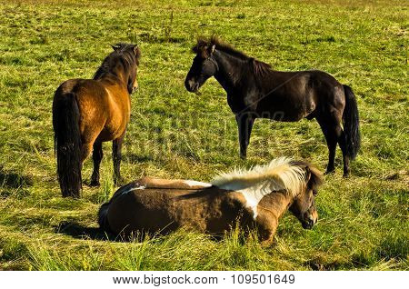 Icelandic horses on a meadow near Akureyri at sunny summer day