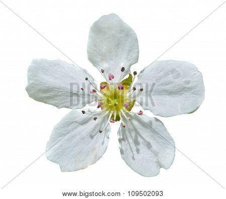 Flower Of Pear