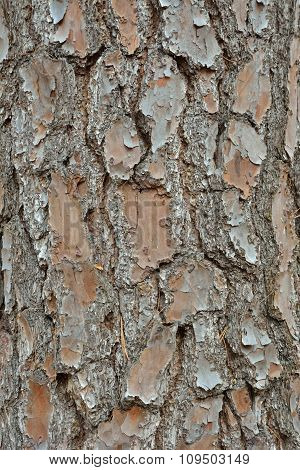 Bark Of Pine