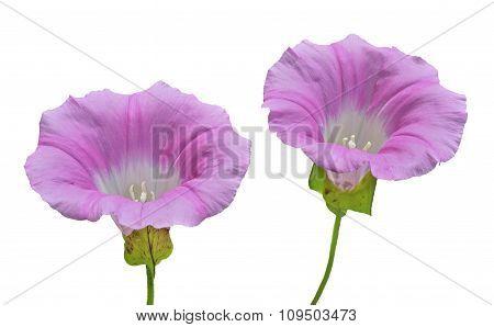 Flowers Of Bindweed