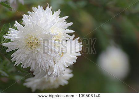 White Chrysanthemum On Green Blurred Background