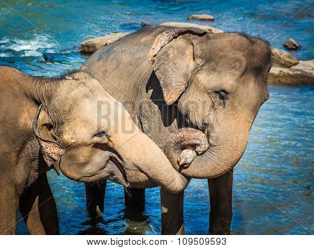Two elephants bathing in a river