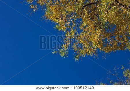 Autumn Golden Leaves
