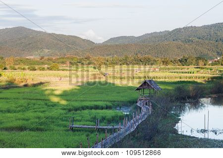 Green Rice Field In Chiang Rai, Thailand