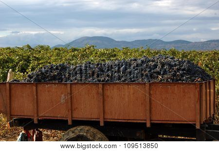 Harvesting of grapes on the vineyards.