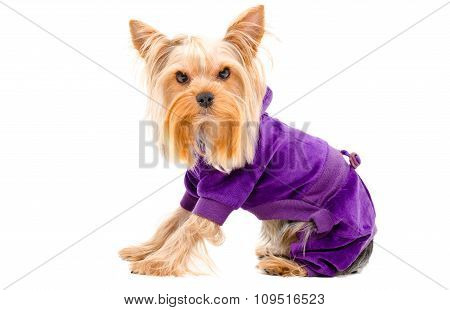 Portrait of Yorkshire terrier dog in a suit