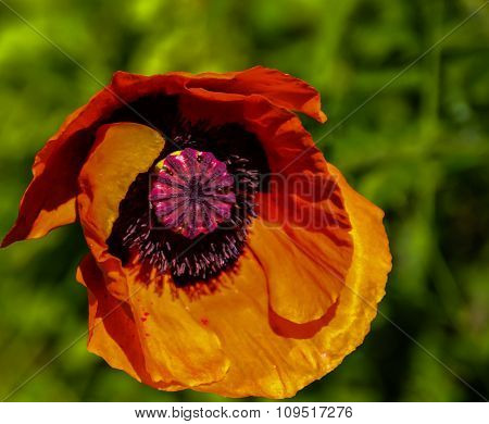 Red poppy in the wind