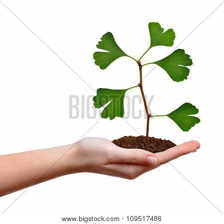 Ginkgo biloba plant growing in hand