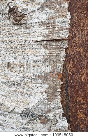 Tree Bark Detail With Lichen Formations. Nature Textured Background