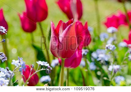 Pink Tulips Amongst The Forget-me-nots