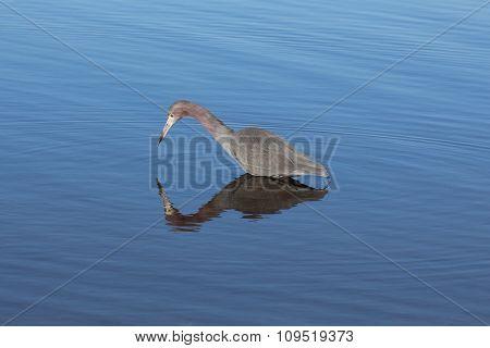 Little blue heron looking down