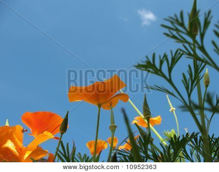 Eshsholtsiya California, or California poppy (Eschscholzia californica), a family of Poppy