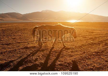 Horse walking at Tsomoriri lake with golden sunlight, Ladakh, northern India.