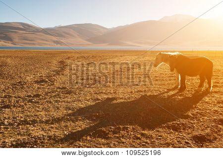 Horses at Tsomoriri lake in a beautiful morning sunrise, Ladakh, northern India.