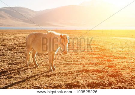 Horse at Tsomoriri lake with beautiful sunrise, Ladakh, northern India.