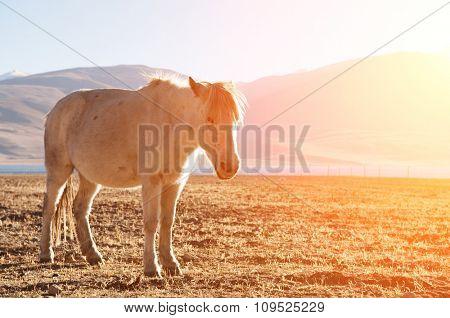 Horse at Tsomoriri lake with beautiful sunlight, Ladakh, northern India.