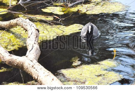 Eurasian Coot: In the Wetlands