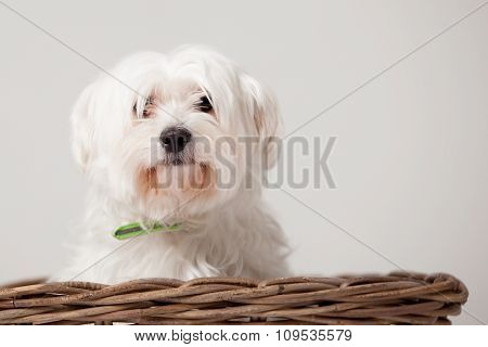 Maltezer In The Basket