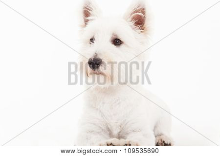 Maltezer On White