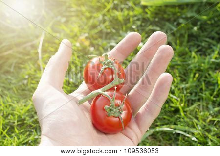 Human hand keep a couple of tomatoes on a green background. Agricultural Vegetable