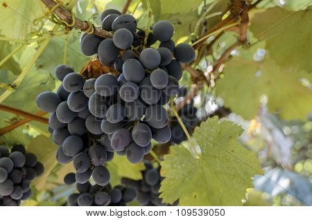 Fresh ripe black bunch of  grapes for vine