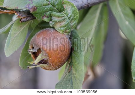 One fresh medlar fruit in the twig