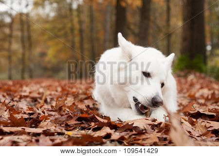 White Sheppard In The Forest Chewing On His Stick