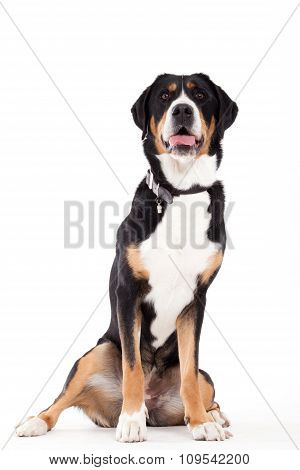 Appenzeller Sennenhond Sitting And Looking