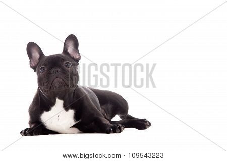Franse Buldog On White