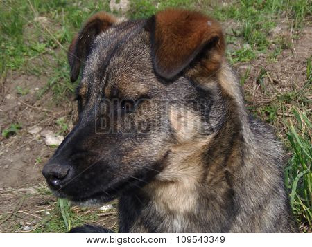 Head dog breed