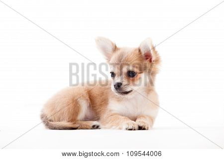 Chihuahua On White