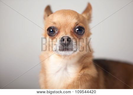 Portrait Of A Chihuahua