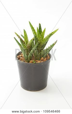 Aloe House Plant In A Pot, Isolated On White Background