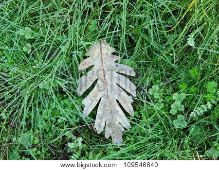 Withered oak leaf in the autumn placed on the green grass