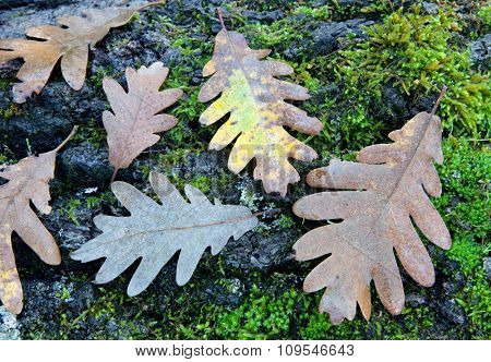 Withered oak leaf in the autumn placed in a wooden trunk
