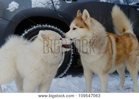 Puppy dog breed Samoyed Husky meets red