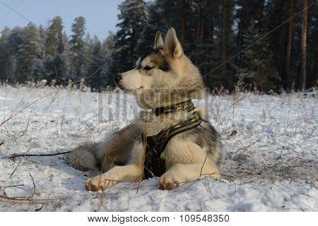 Proud dog breed Siberian Husky lying in the snow
