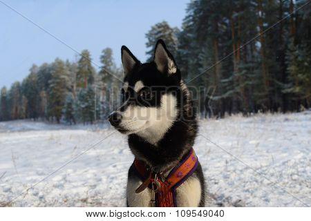 dog breed Siberian Husky in training