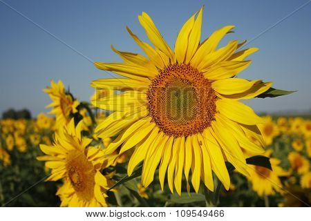 The sunflower grows in a field open-air