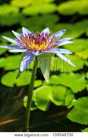 Water lily-selective focus